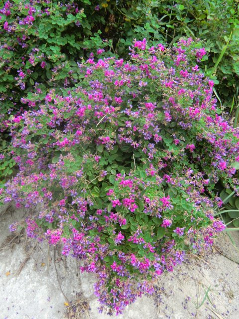 Цветы в песках Приморья.