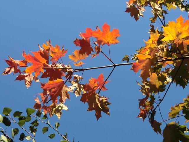 Осенние клёны на улице Гарибальди.
