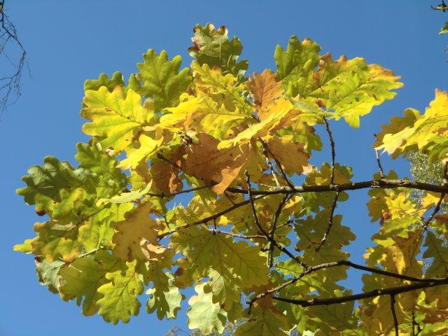 Пожелтели дубовые листья на улице Гарибальди.