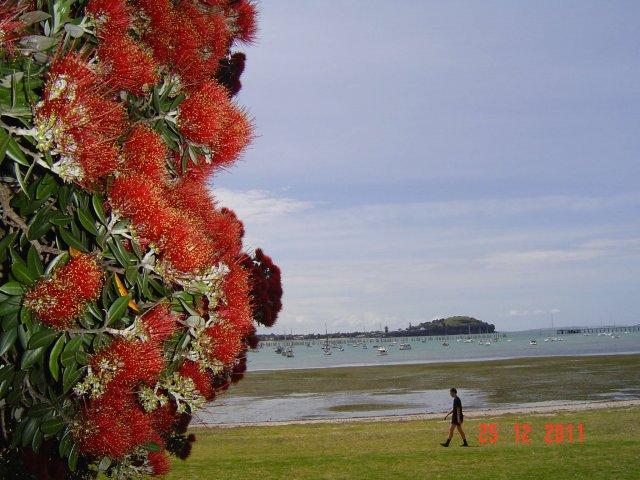 Так  цветет рождественское дерево Пахутокава