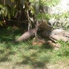 Мой сосед - крокодил, Шри-Ланка