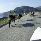 Олени на дороге перед машиной автора в Норвегии