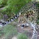 Дальневосточный леопард в заповеднике Кедровая Падь, Россия