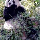 Панды, Чэнду, Китай