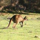 Остров Кенгуру в Австралии