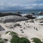 Пингвинья колония около Симонстауна