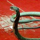Змеиная ферма Пхукета