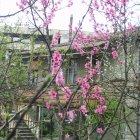 Ветви персика