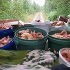 Сбор грибов в Кеми, Карелия, Россия