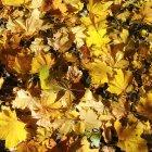 Листья жёлтые, осенние...